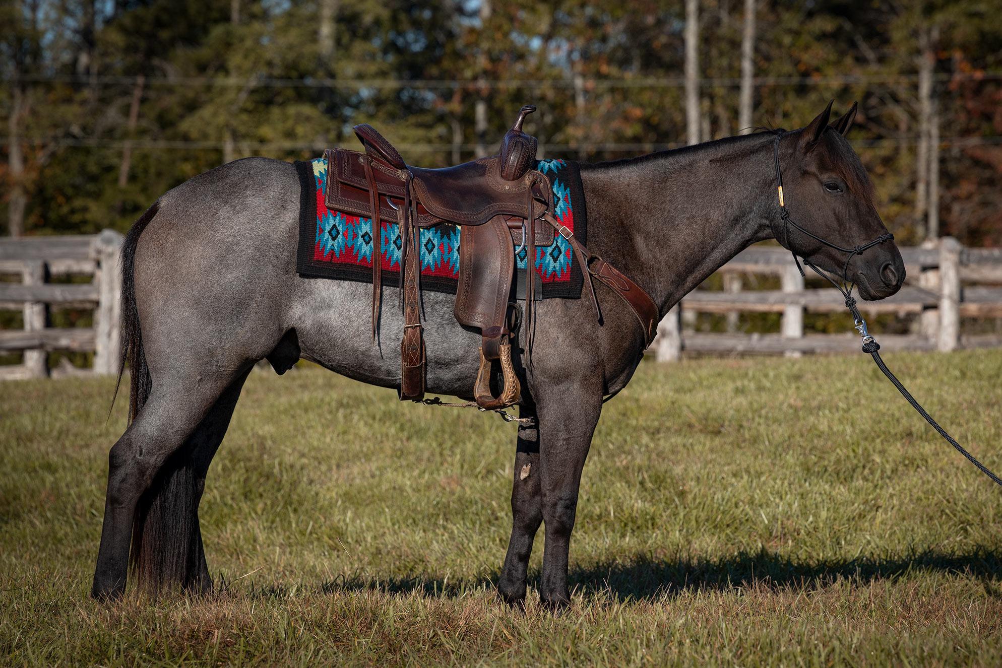 023-Gunsmoke-Luxury-Trail-Horse-For-Sale