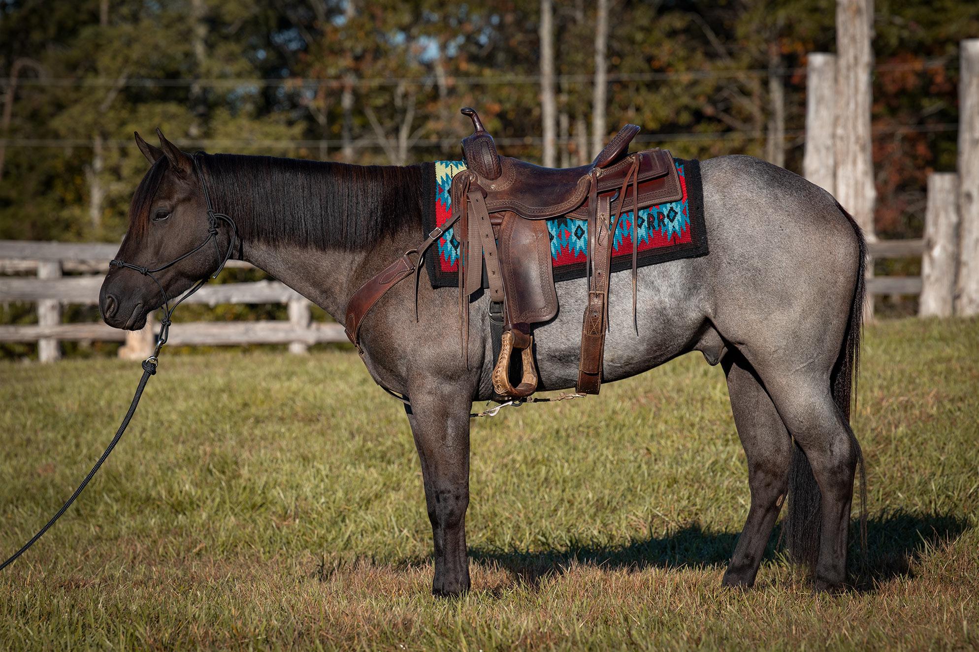 024-Gunsmoke-Luxury-Trail-Horse-For-Sale