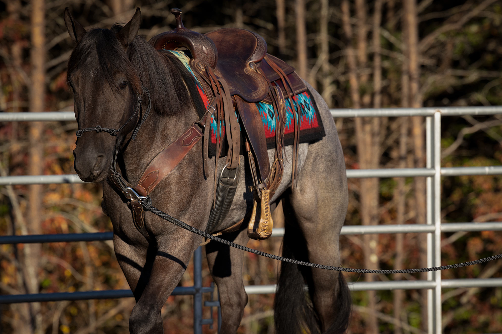 025-Gunsmoke-Luxury-Trail-Horse-For-Sale