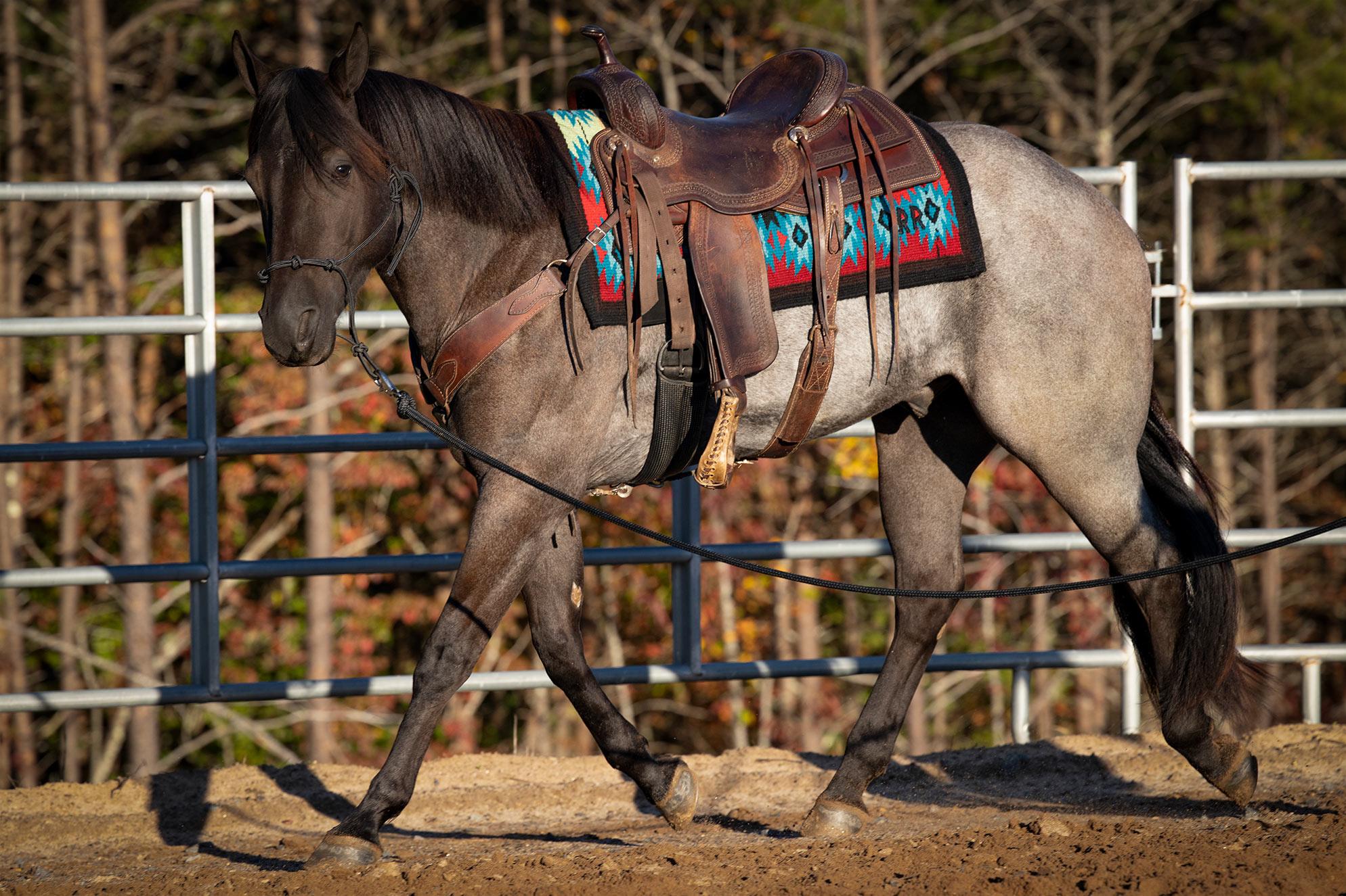 026-Gunsmoke-Luxury-Trail-Horse-For-Sale